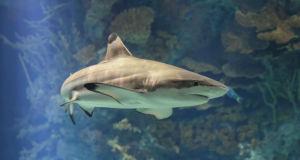 Акула - характеристика