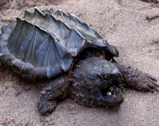 Алигаторова костенурка
