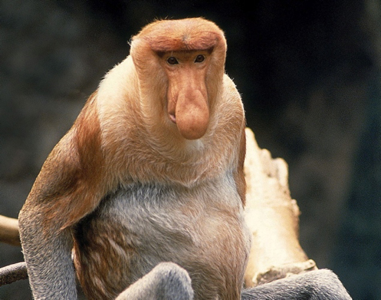 Дългоноса маймуна