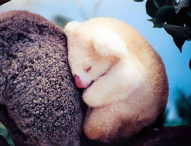 bebe-koala