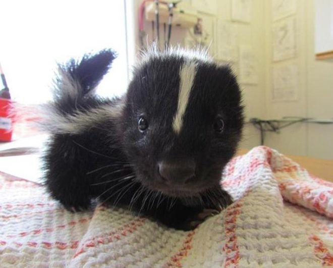 bebe-skunks