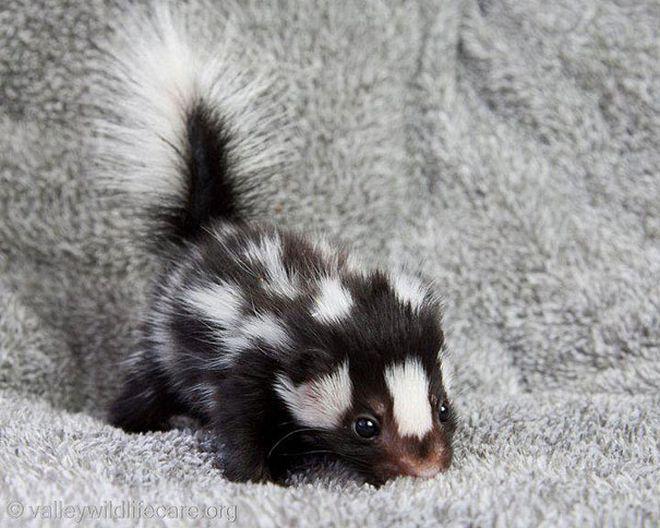 bebe-skunkss