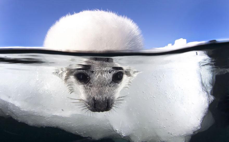 Бебе тюлен