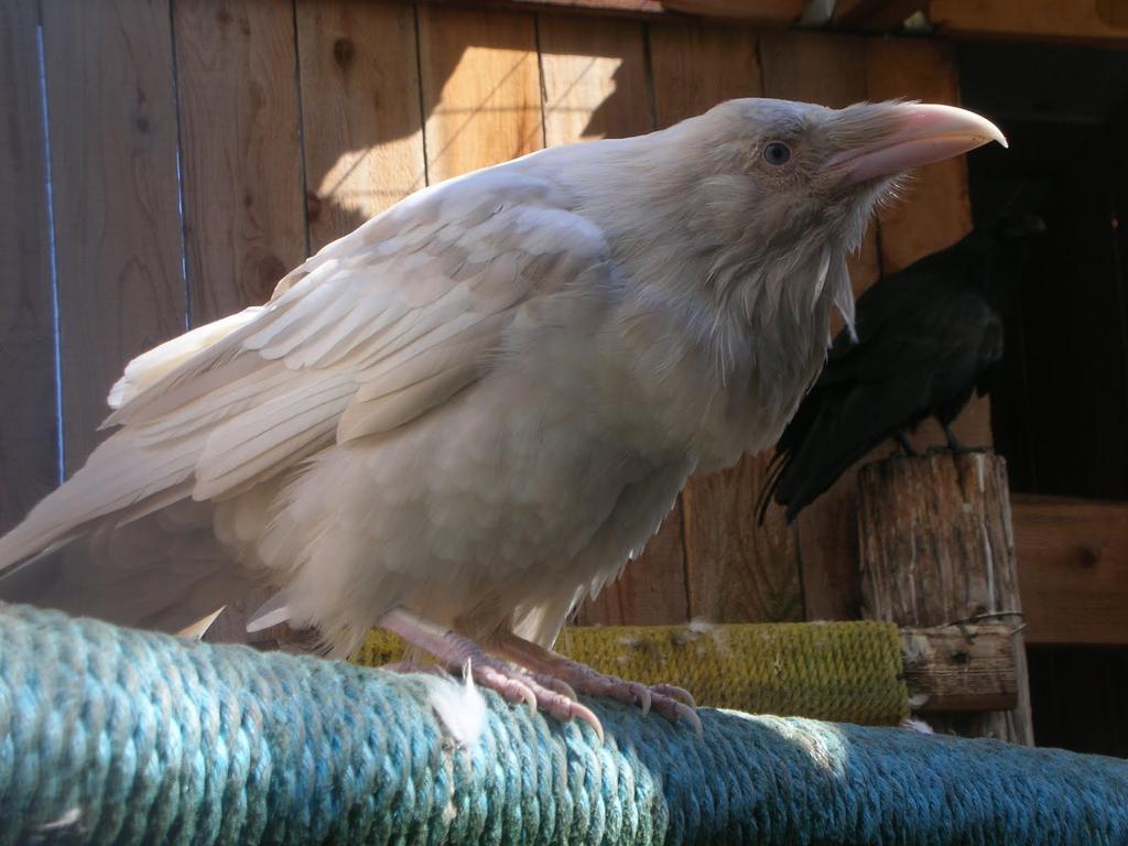 jivotno-albinos-11