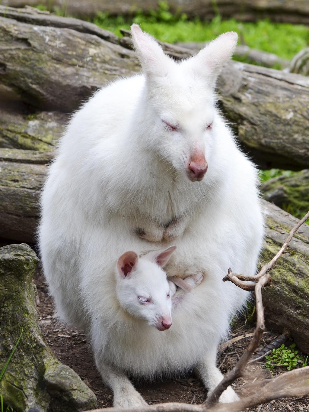 jivotno-albinos-15