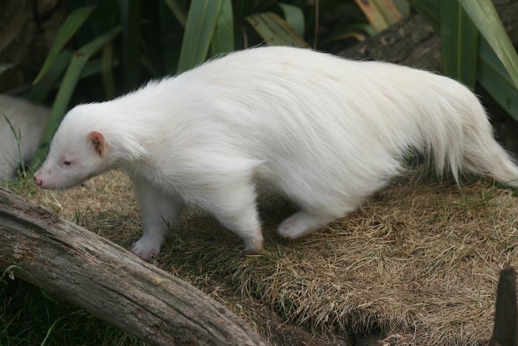 jivotno-albinos-17