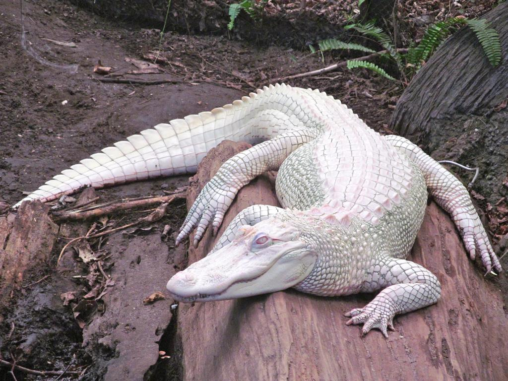 jivotno-albinos-9
