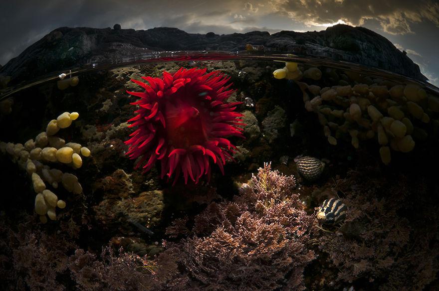 okeanska-roza