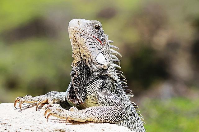 iguana-1